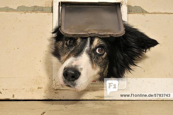 Border Collie schaut durch Katzenklappe