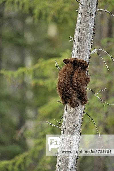 Schwarzbär Ursus americanus Sicherheit amerikanisch 2 jung Jungtier spielen Schwarzbär,Ursus americanus,Sicherheit,amerikanisch,2,jung,Jungtier,spielen