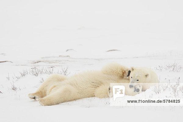 Eisbär (Ursus Maritimus)  Churchill  Manitoba  Kanada