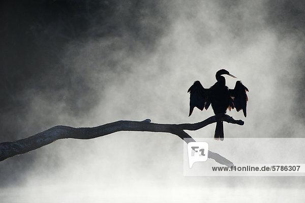 Erwachsene Anhinga (Anhinga Anhinga) trocknet seine Flügel im Nebel der ein Winter Morgen  Chassahowitzka National Wildlife Refuge  West-Zentral-Florida  USA