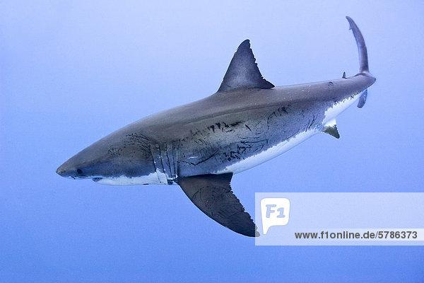 Weißer Hai (Carcharodon Carcharias)  Isla Guadalupe  Baja  Mexiko