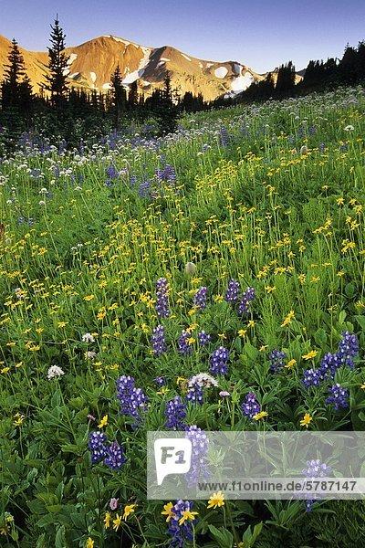 Lupine und Amica bei Sonnenuntergang  South Chilcotin Range  Taylor Becken  British Columbia  Kanada.