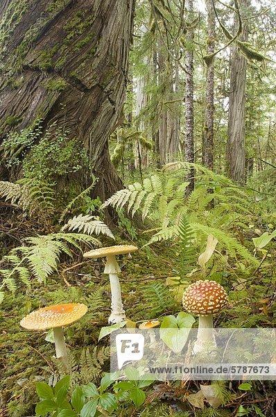 Old Growth westlichen Rot-Zedern gemäßigten Regenwald  Great Bear Rainforest  British Columbia  Kanada.