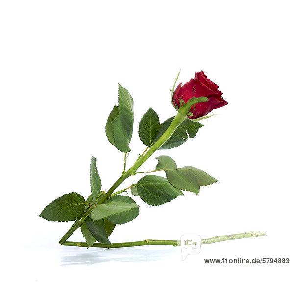 Rote Rose (Rosa) mit abgebrochenem Stiel