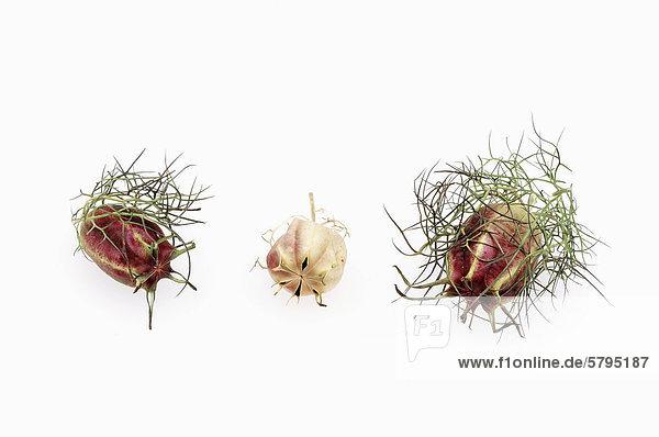 Jungfer im Grünen  Garten-Schwarzkümmel oder Damaszener Schwarzkümmel (Nigella damascena)  Früchte  Vorkommen in Südeuropa  als Heilpflanze kultiviert