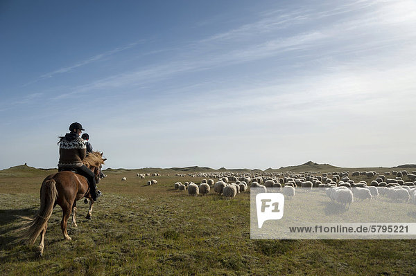 Flock of sheep on a green meadow or pasture  rider on a horse  bringing down sheep in KirkjubÊjarklaustur  South Iceland  Iceland  Europe