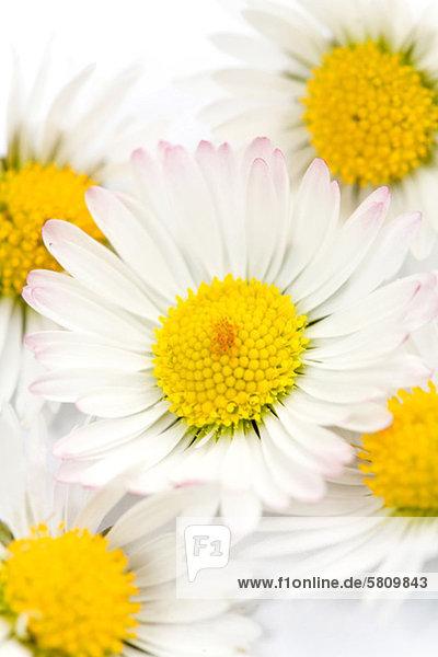 Detail von Gänseblümchen