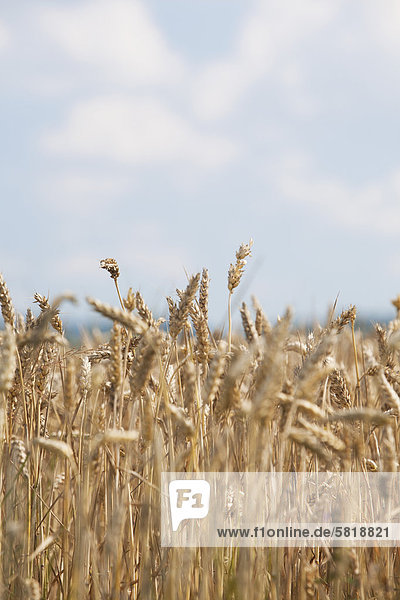 Nahaufnahme von Getreide auf dem Feld wachsen