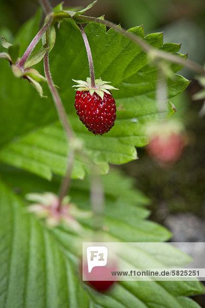 Wald-Erdbeeren (Fragaria vesca)ü Stuttgartü Baden-W¸rttembergü Deutschlandü Europa