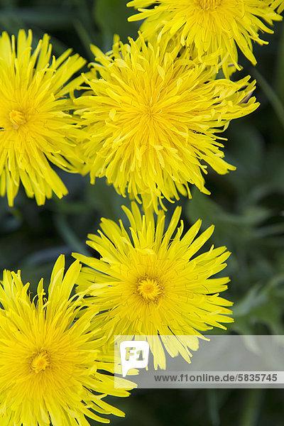 hoch  oben  nahe  Blume  gelb