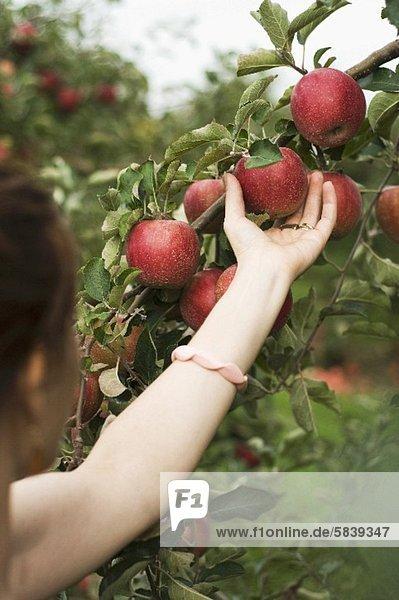 Frau beim Äpfelpflücken