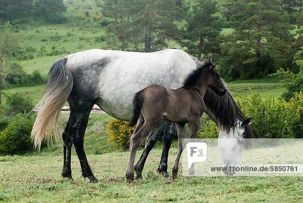 mare and foal grazing in the meadow  Guadalaviar  Teruel  Spain