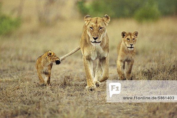 Jungtier  das sich am Schwanz einer Löwin festhält  Panthera leo  Masai Mara-Reservat  Kenia