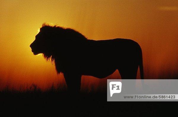 Löwe mit vollem Magen in der Morgendämmerung  Panthera leo  Okavango-Delta  Botswana