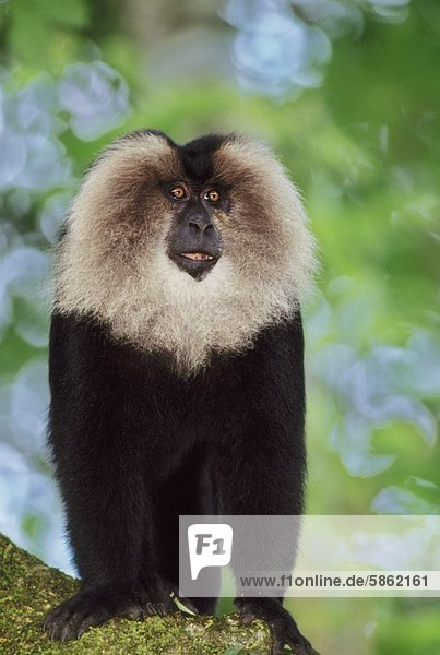 Lion-tailed macaque  Macaca silenus  a male animal in the Western Ghats  India