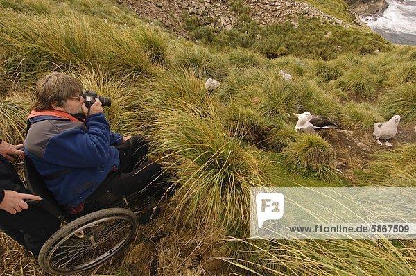 Touristen im Rollstuhl am Rand der Kolonie schwarz-Granada-Albatros,  Thalassarche Melanophrys,  West Point Island,  Falkland-Inseln