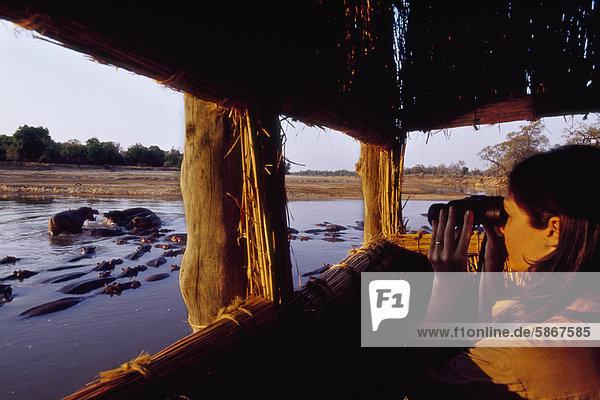 Tourist beobachten Flusspferde  Hipopotamus Amphibus  Luangwa Valley  Zambia