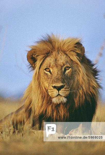 Löwe  Panthera leo  Chobe-Nationalpark  Botswana