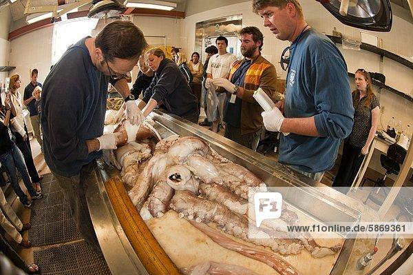 Meeresbiologen sezieren Riesenkalmar  Architeuthis innerhalb  lange Marine Lab  Monterey Bay  Kalifornien