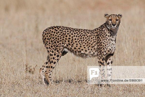 Gepard  Acinonyx jubatus  Gepardenschutzfonds  Namibia