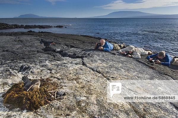 Touristen fotografieren Galapagosscharbe  Phalacrocorax Harrisi  Galapagos-Inseln