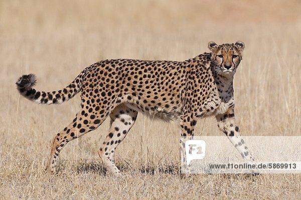 Gepard  Acinonyx Jubatus  Cheetah Conservation Fund  Namibia