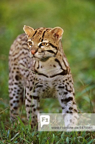 Ozelot  Leopardus Pardalis  Pantanal  Brasilien