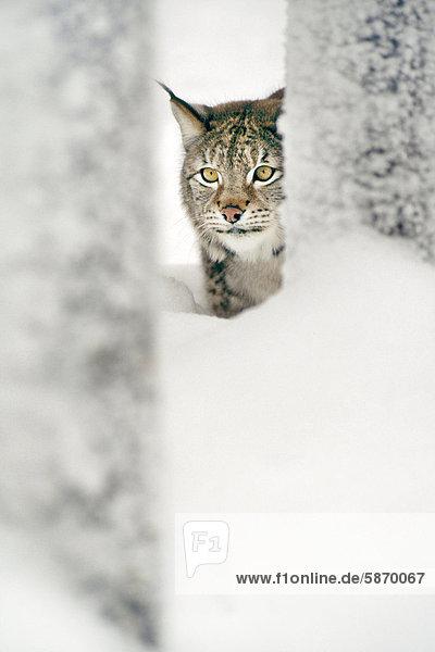 Eurasischer Luchs im Schnee  Luchs Lynx lynx  Finnland