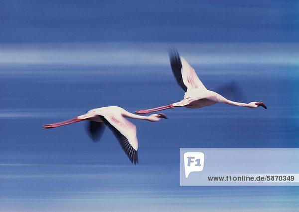Größere Flamingos im Flug  Phoenicopterus roseus  Lake Nakuru National Park  Kenia