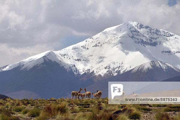 Wilde Vicunas  Vikunjas (Vicugna vicugna)  vor verschneiten Gipfeln der Anden  Altiplano  Dreiländereck Bolivien - Argentinien - Chile  Südamerika
