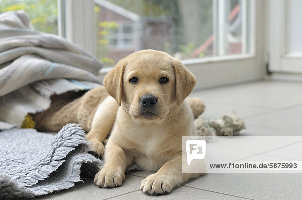 Junger blonder Labrador Retriever liegt auf Fußboden