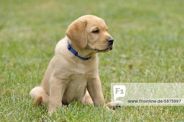 Junger blonder Labrador Retriever sitzt im Gras