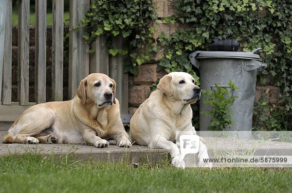 Zwei blonde Labrador Retriever liegen auf Terasse