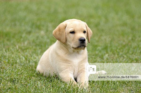 Junger blonder Labrador Retriever liegt im Gras