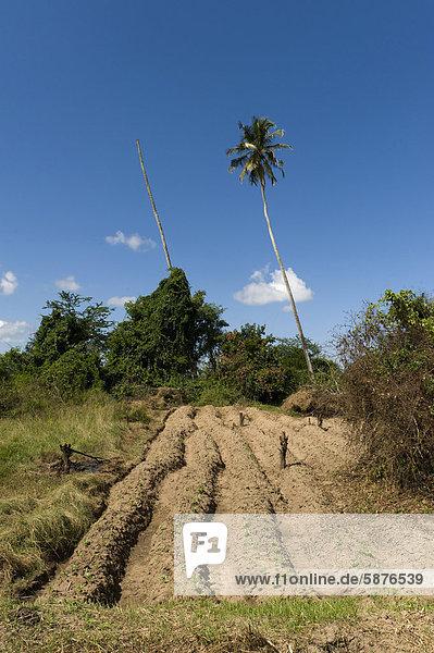 Feld eines Kleinbauern mit Kassava (Manihot esculenta) und Bohnen (Phaseolus vulgaris)  Quelimane  Mosambik  Afrika