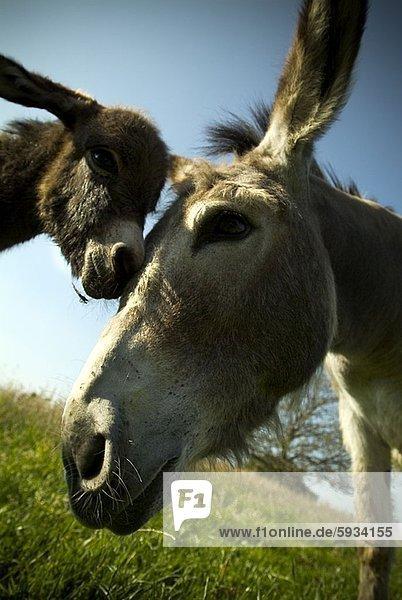 Close-up of two donkeys. Close-up of two donkeys