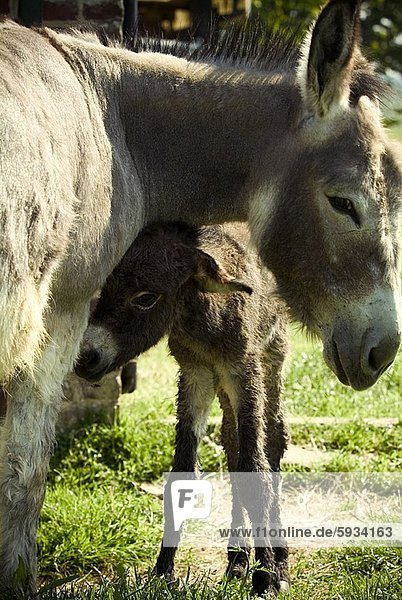 Close-up of a donkey standing with a baby donkey in a field. Close-up of a donkey standing with a baby donkey in a field