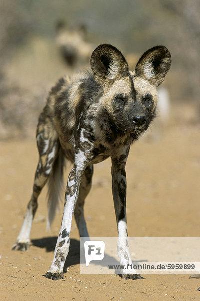 Hund ungestüm Gefangenschaft Namibia Afrika