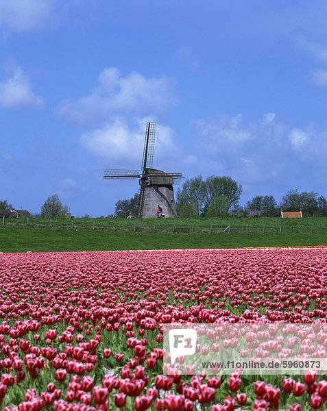 Field of tulips in front of a windmill near Amsterdam  Holland  Europe