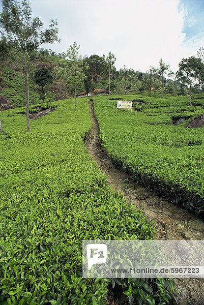 Teeplantage  Nuwara Eliya Bereich  Sri Lanka  Asien