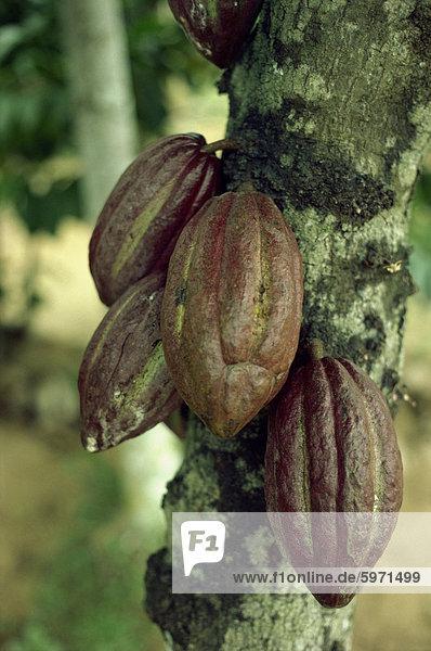 Nahaufnahme der Kakao Hülsen auf einem Baum in Sri Lanka  Asien