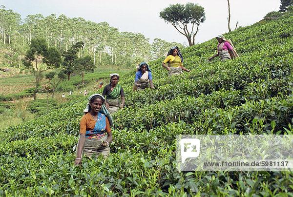 Tee  Rupfen  Bereich Nuwara Eliya  Sri Lanka  Asien