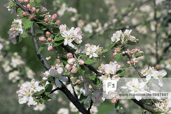 Apfelbäume in Blüte  Normandie  Frankreich  Europa
