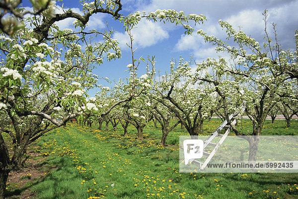 Birne Blüte im Obstgarten  Holt Flotte  Worcestershire  England  Vereinigtes Königreich  Europa