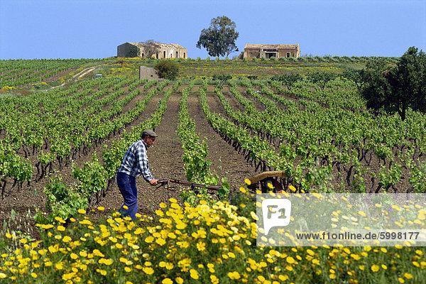 Mann mit Maschine  die Pflege der Reben im Frühjahr in einem Weinberg in der Nähe von Marsala auf Sizilien  Italien  Europa