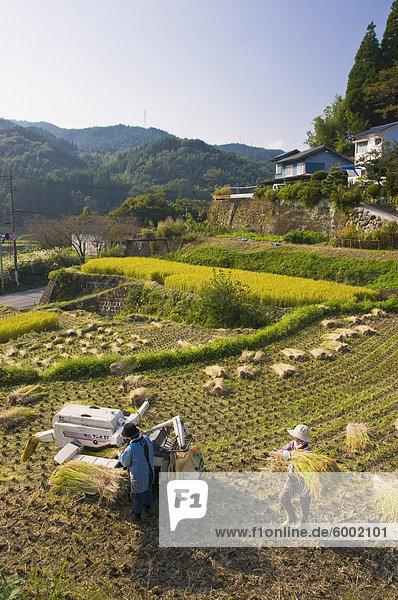 Dreschen frisch geernteten Reis in einem kleinen terrassierten Reisfeld nahe Oita  Kyushu  Japan  Asien