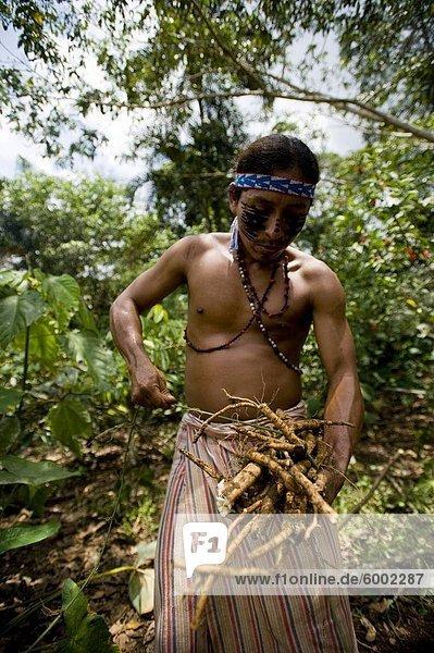 Sammeln von Barbasco  eine giftige Wurzel verwendet zum Fischen  Amazonas  Ecuador  Südamerika