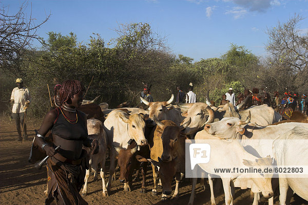 Ritual dancing round cows and bulls  Hamer Jumping of the Bulls initiation ceremony  Turmi  Lower Omo valley  Ethiopia  Africa