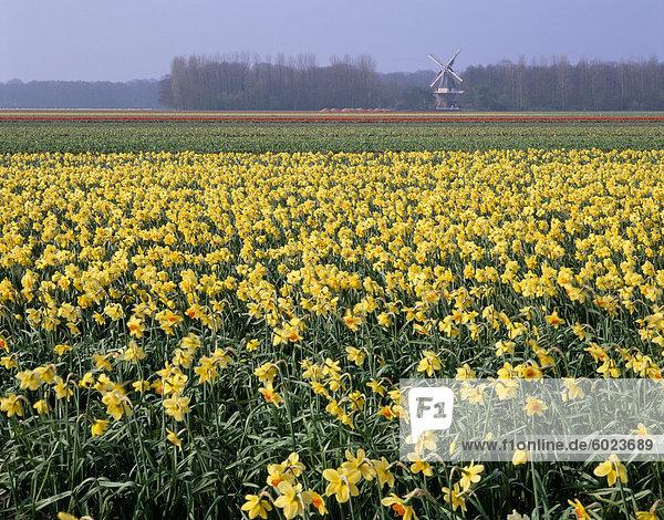 Blumenfelder der Narzissen und Windmühle in Distanz  Niederlande  Europa