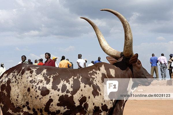 Ankole Kuh  Kampala  Uganda  Ostafrika  Afrika